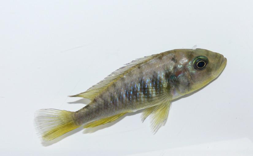 Självbefruktande fisk upptäckt